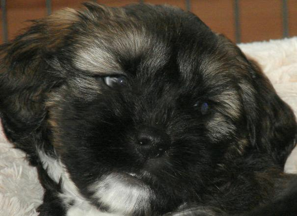 tibetan terrier fpuppies for sale